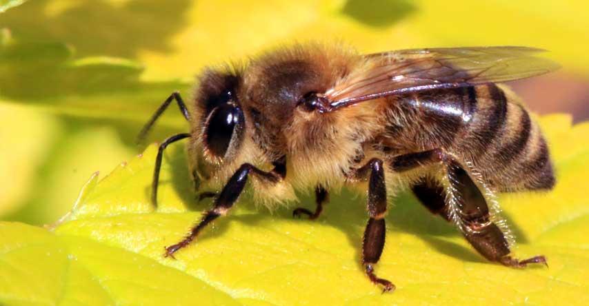abelhas europeias na austrália