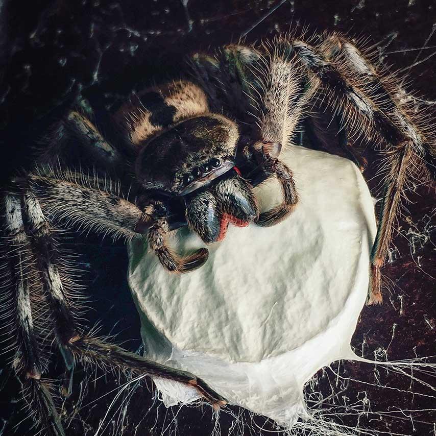 aranhas são um dos animais mais perigosos da austrália