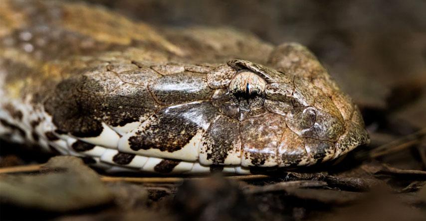 cobras são um dos animais mais perigosos da austrália