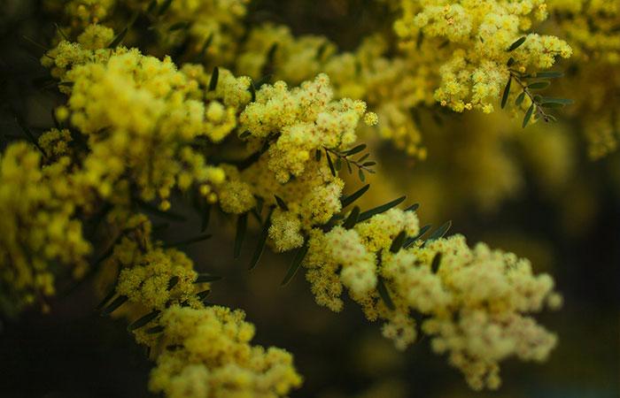 Flor de acácia ou wattle